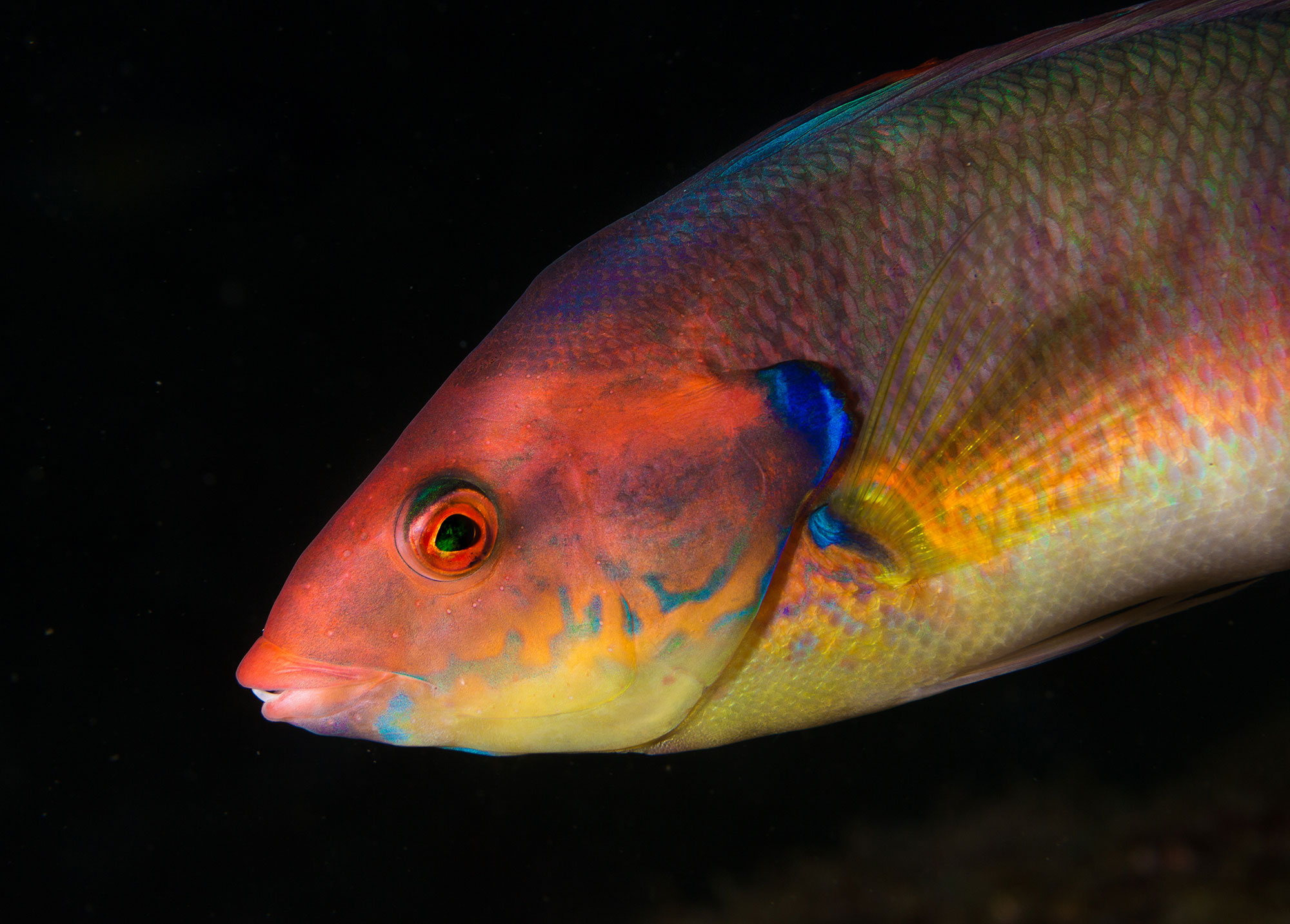 A Colourful Wrasse Profile Spotted while Diving at Tufo on São Miguel island