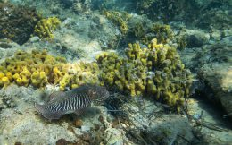 Cuttlefish Swimming On The Slovenian Reef