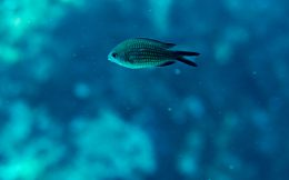 Damselfish Alone in Greece