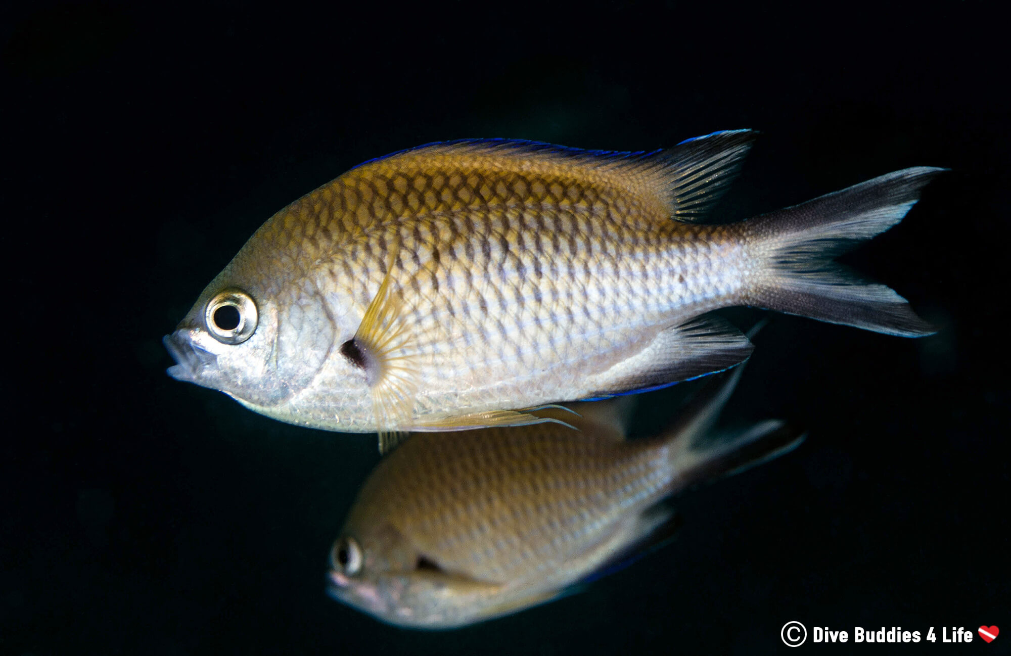 Damselfish Swimming Around In The Dark In Lanzarote, Spain, Europe