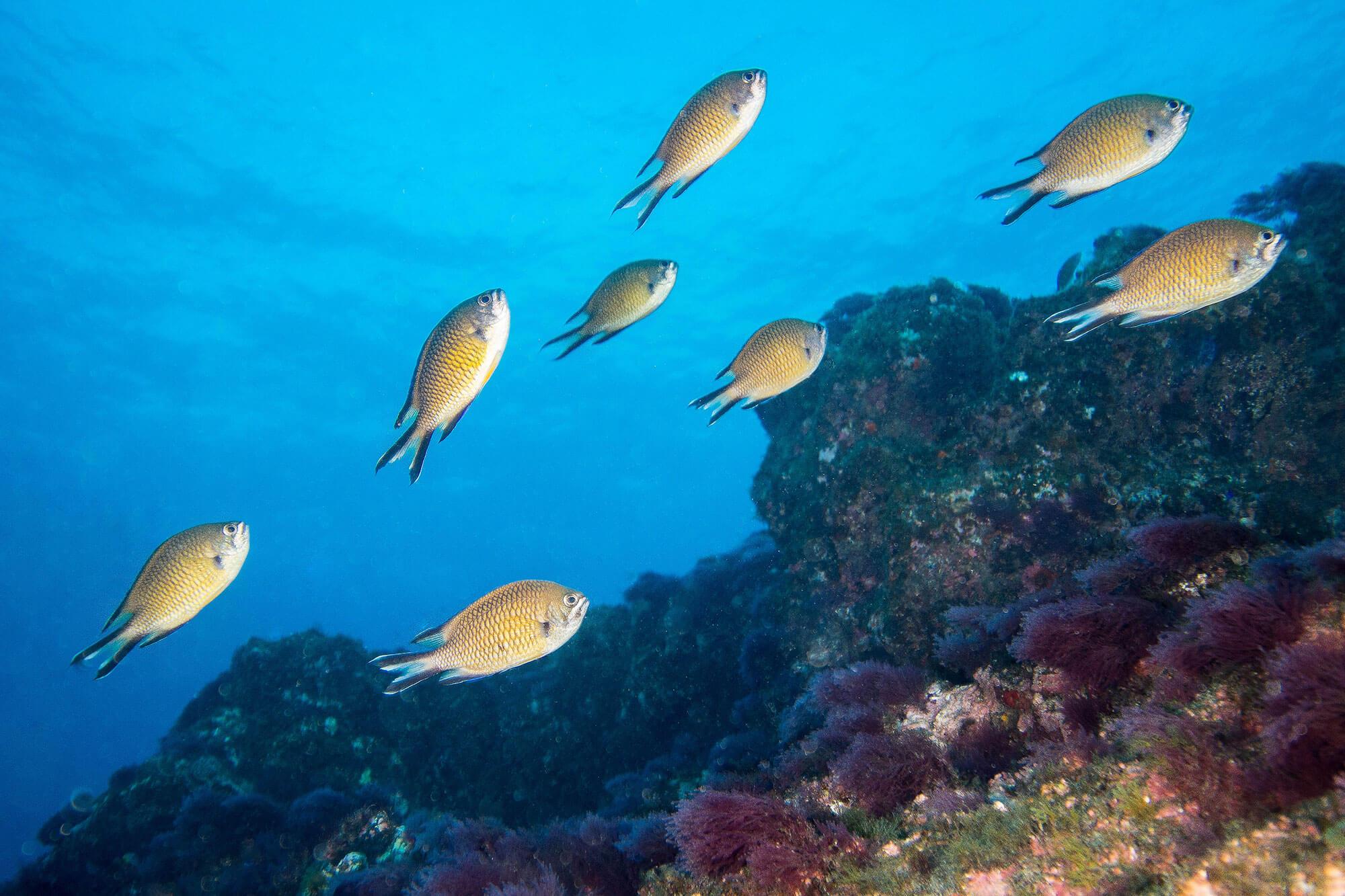 Damselfish Swimming In The Azores