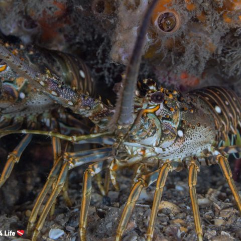 Diving At Blue Heron Bridge With A Couple Of Spiny Lobster, USA