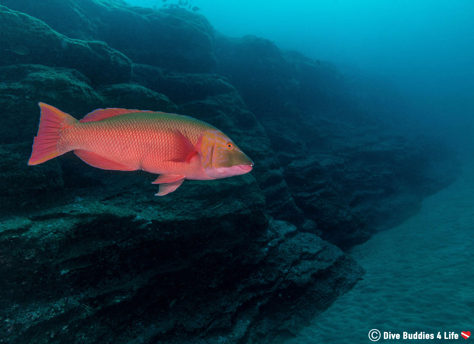 Diving In The Azores Islands With A Hogfish At One Of The Saõ Miguel Dive Sites In Portugal