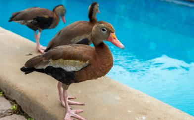 Ducks by the Pool