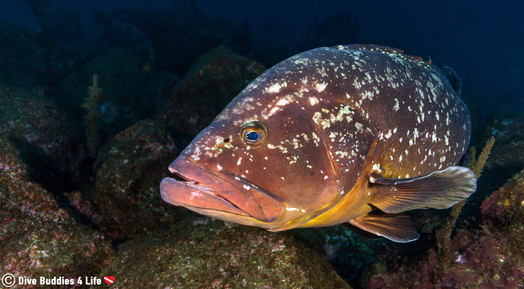 A Big Dusky Grouper Coming Close To The Underwater Camera On A Deep Dive On Saõ Miguel In The Portuguese Azores Islands
