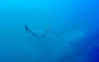 A Close Up of a Bat Islands Eagle Ray