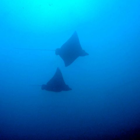 Two Eagles Rays Swimming in the Waters of Costa Rica