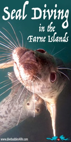 Farne Island Seal Scuba Diving Pinterest