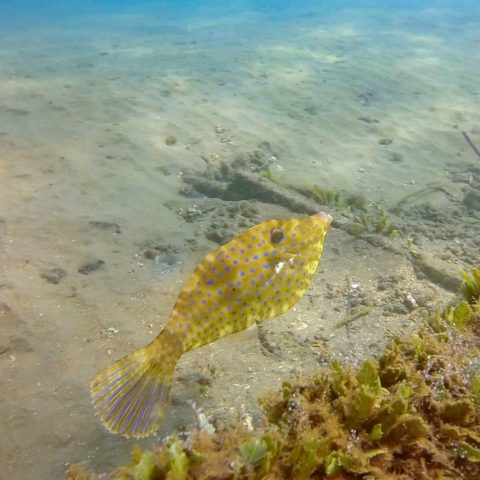 A File Fish in the Water of Playa del Coco