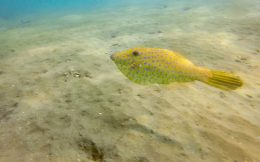 A File Fish Swimming Away on our Snorkel