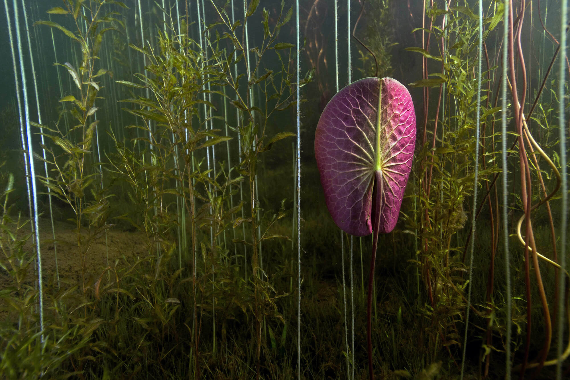 A Pink Lily Pad Underwater in Finlayson Point Park, Lake Temagami, Ontario, Scuba Diving Canada