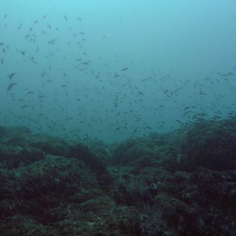 A School of Fish on the Reef at Catalina Islands