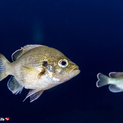 Fish With A Blurred Blue Background In The Blue Grotto Floridian Sinkhole, USA
