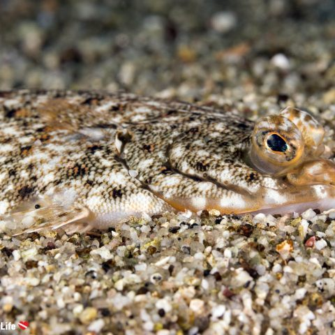 Flounder At A Shore Diving Site Just Outside Of Halifax In Nova Scotia, Canada