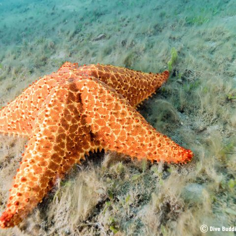 A Giant Sea Star in the Mud At BHB, Florida, USA