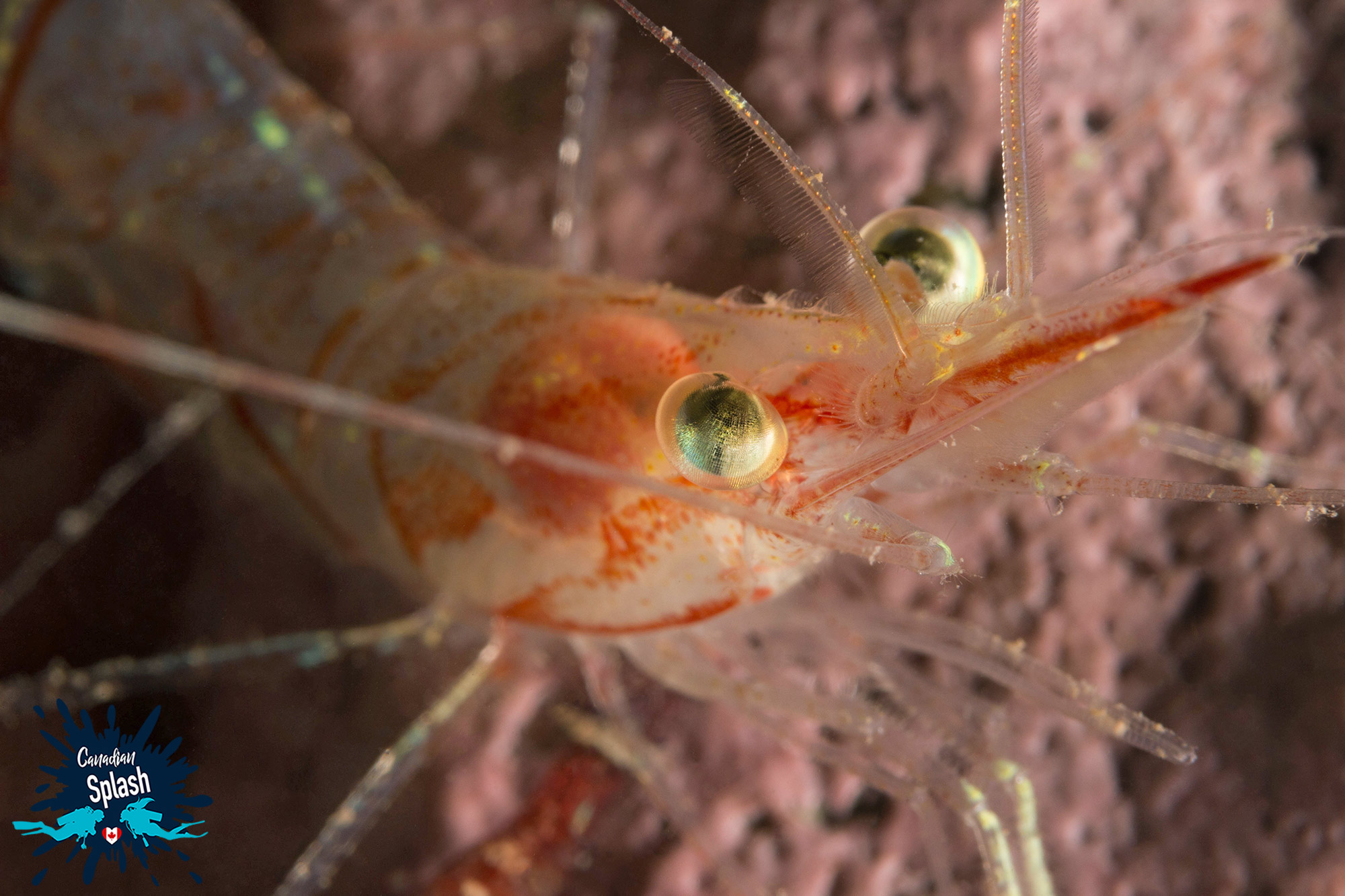 Grand Manan Close Up Of A Shrimp, Scuba Diving New Brunswick, Canada