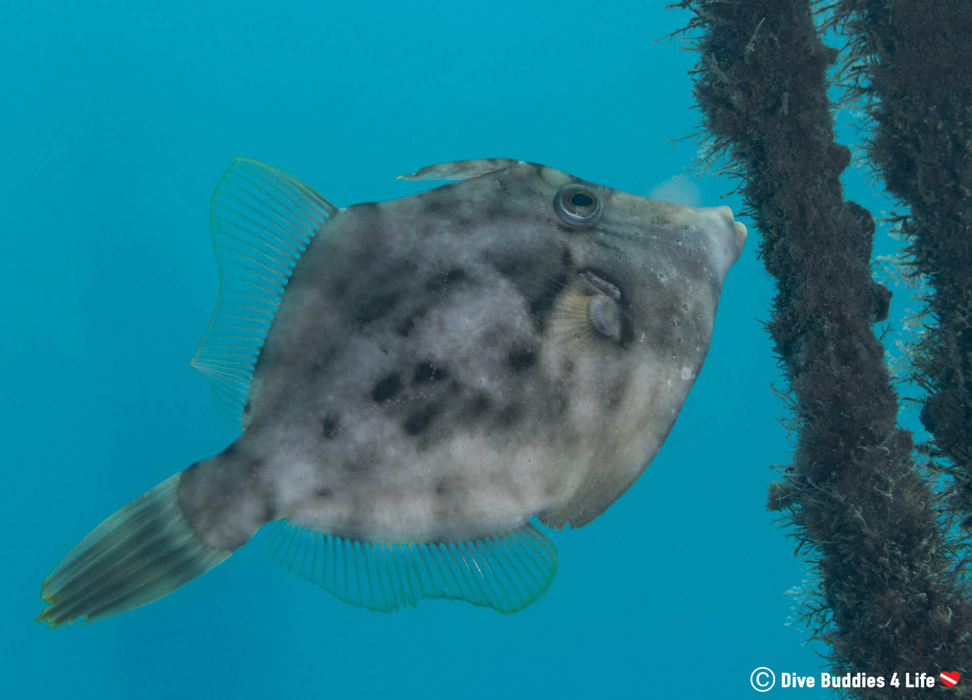 Grey Triggerfish Eating From The Column At BHB In West Palm Beach, Florida