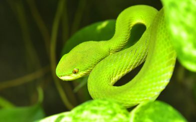 Green Bush Viper Snake of Costa Rica