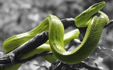 Green Vine Snake in the Rainforest of Costa Rica