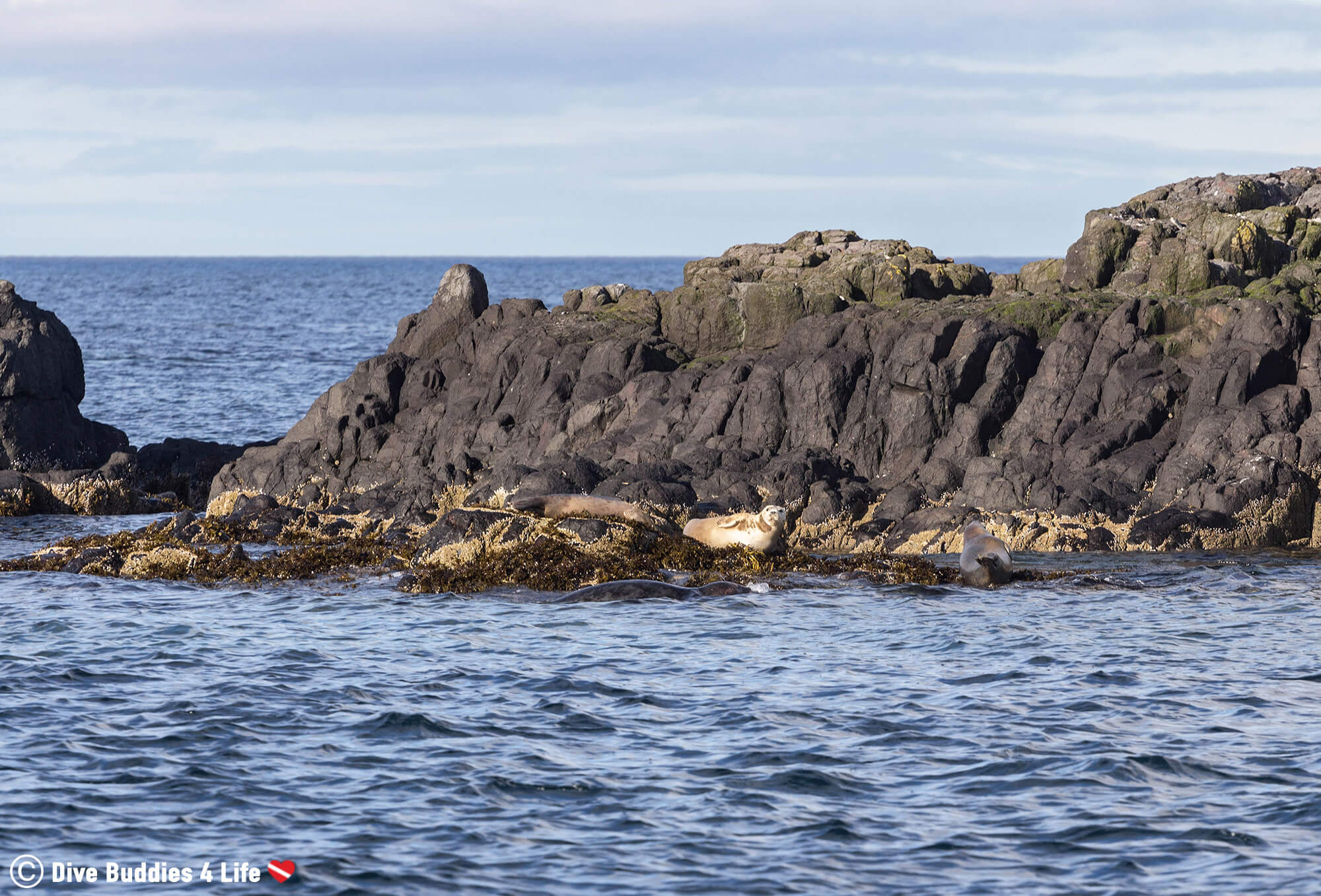 Grey Seals Sunning On The Rocks Around Farne Island Before The Dive, UK