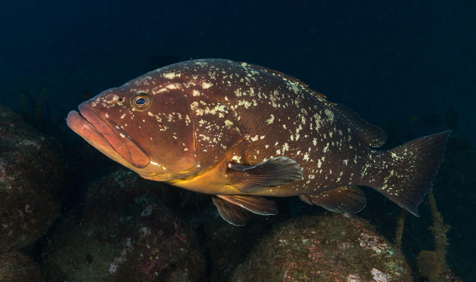 A Big Grouper In The Azores