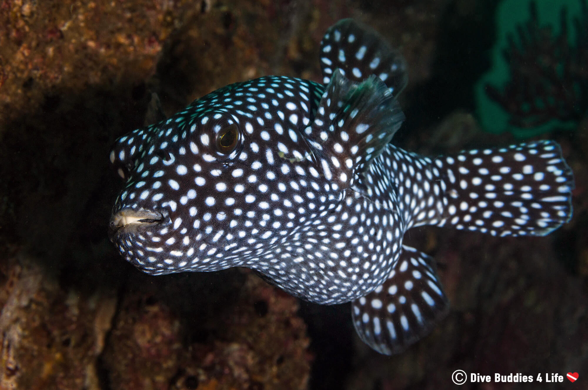 Guinea Fowl Puffer near some Rocks at the Bat Islands in Costa Rica