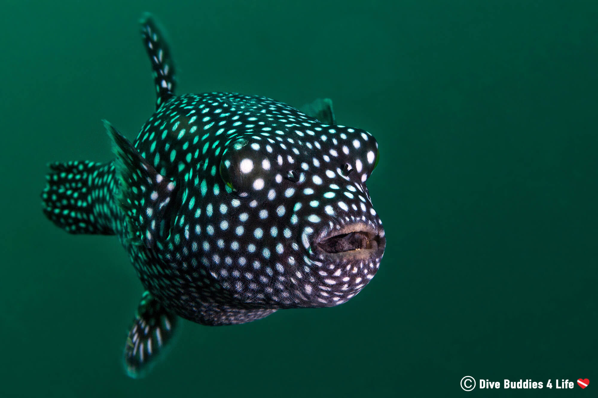 Guinea Fowl Puffer in the Costa Rican Ocean, Catalina Islands, Central America