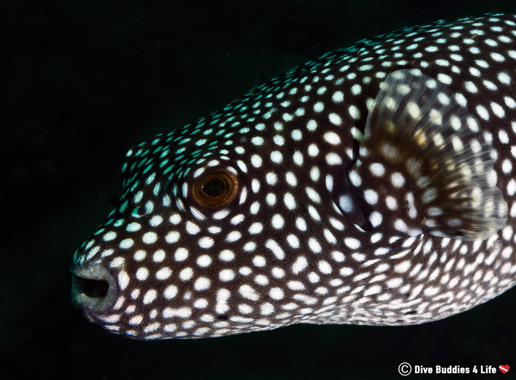 Spotted Guinea Fowl Puffer on a Night Dive in Zihuatanejo, Mexico