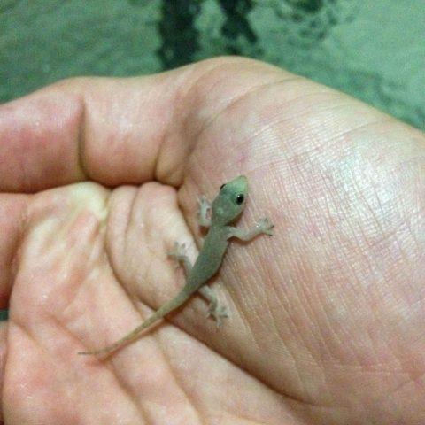 A Tiny House Gecko Beast on Dad's Hand