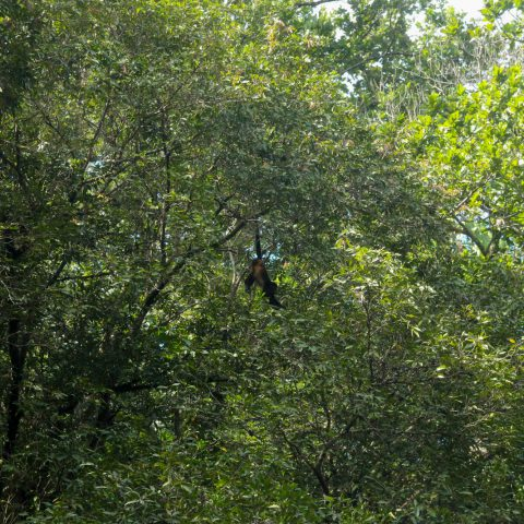 A Howler Monkey in the Tree of Costa Rica