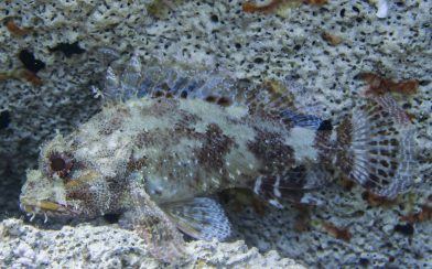 Scorpionfish at Lakka Dive Site in Greece