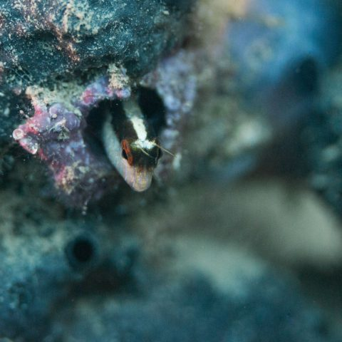 Tiny Fish Peeking out of a Sponge in Albania