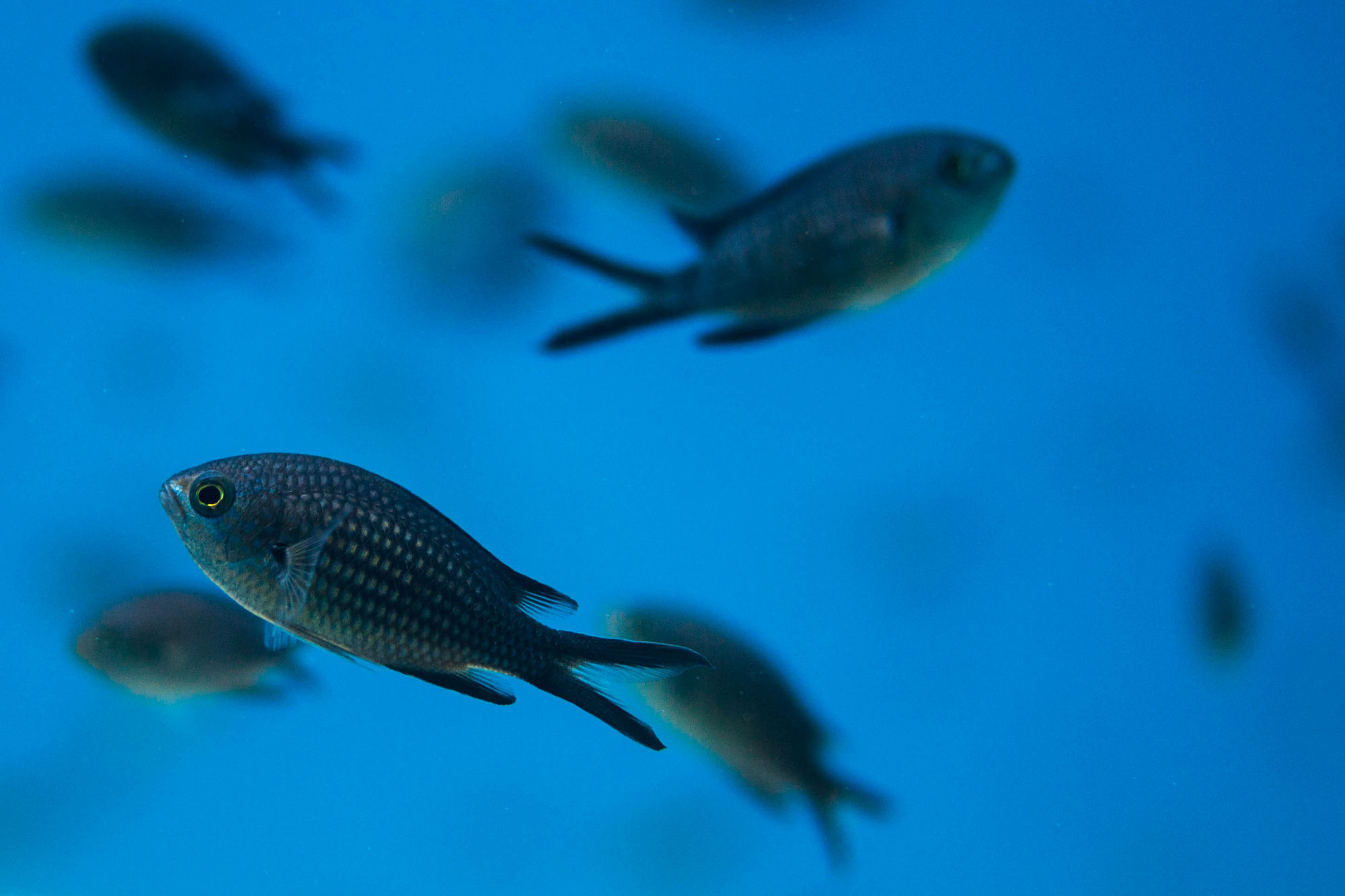 A School of Damselfish in the Blue of the Adriatic Sea