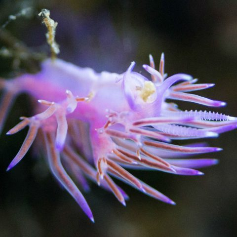 Purple Nudibranch on an Underwater Plant in Croatia