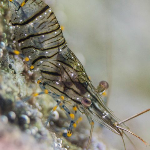 Close Up of a Cleaner Shrimp Snorkeling in Croatia