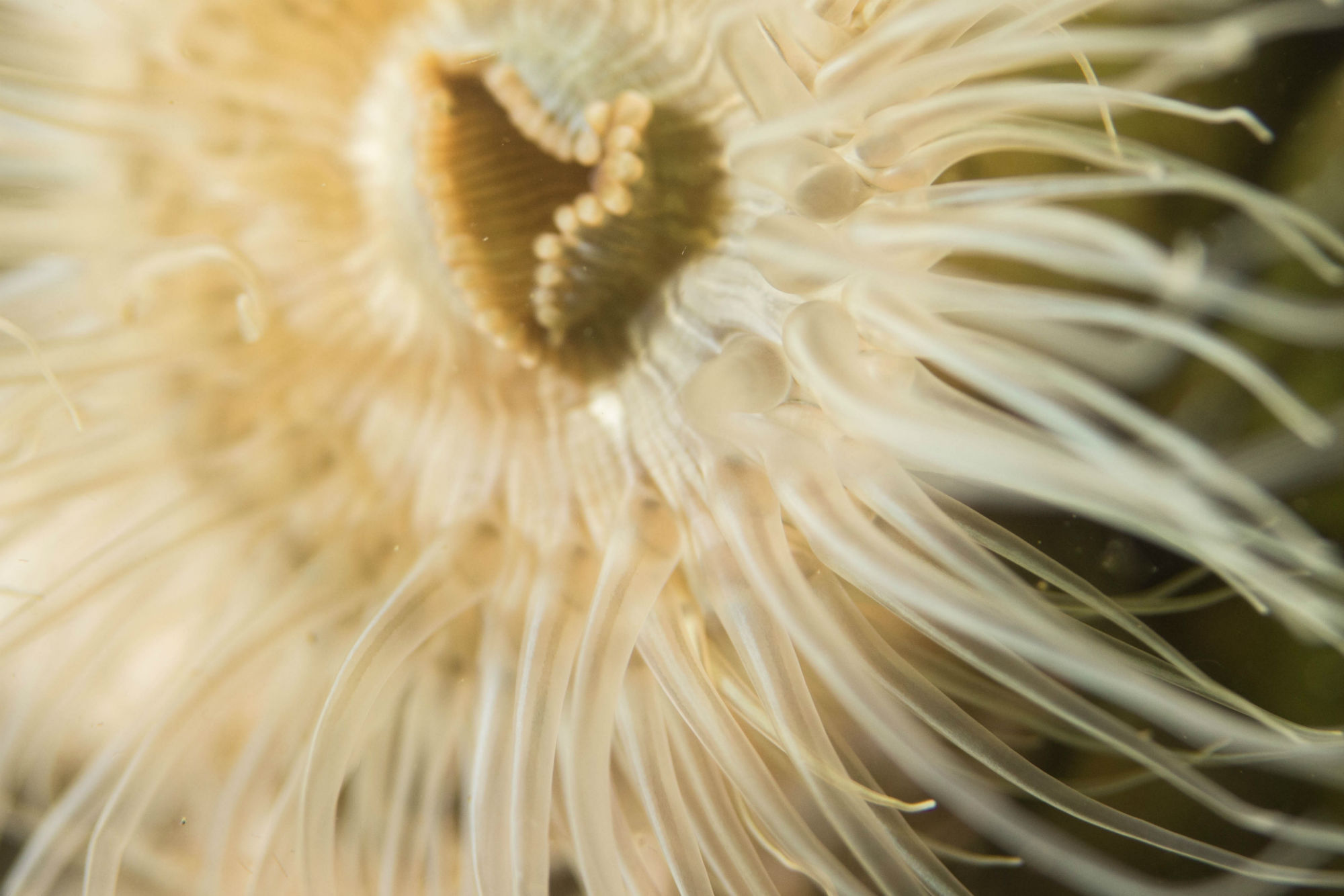 Close Up of an Anemone in Zeeland