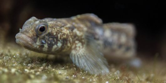 A Macro of a Pouty Fish in the Zeeland Saltwater Lake