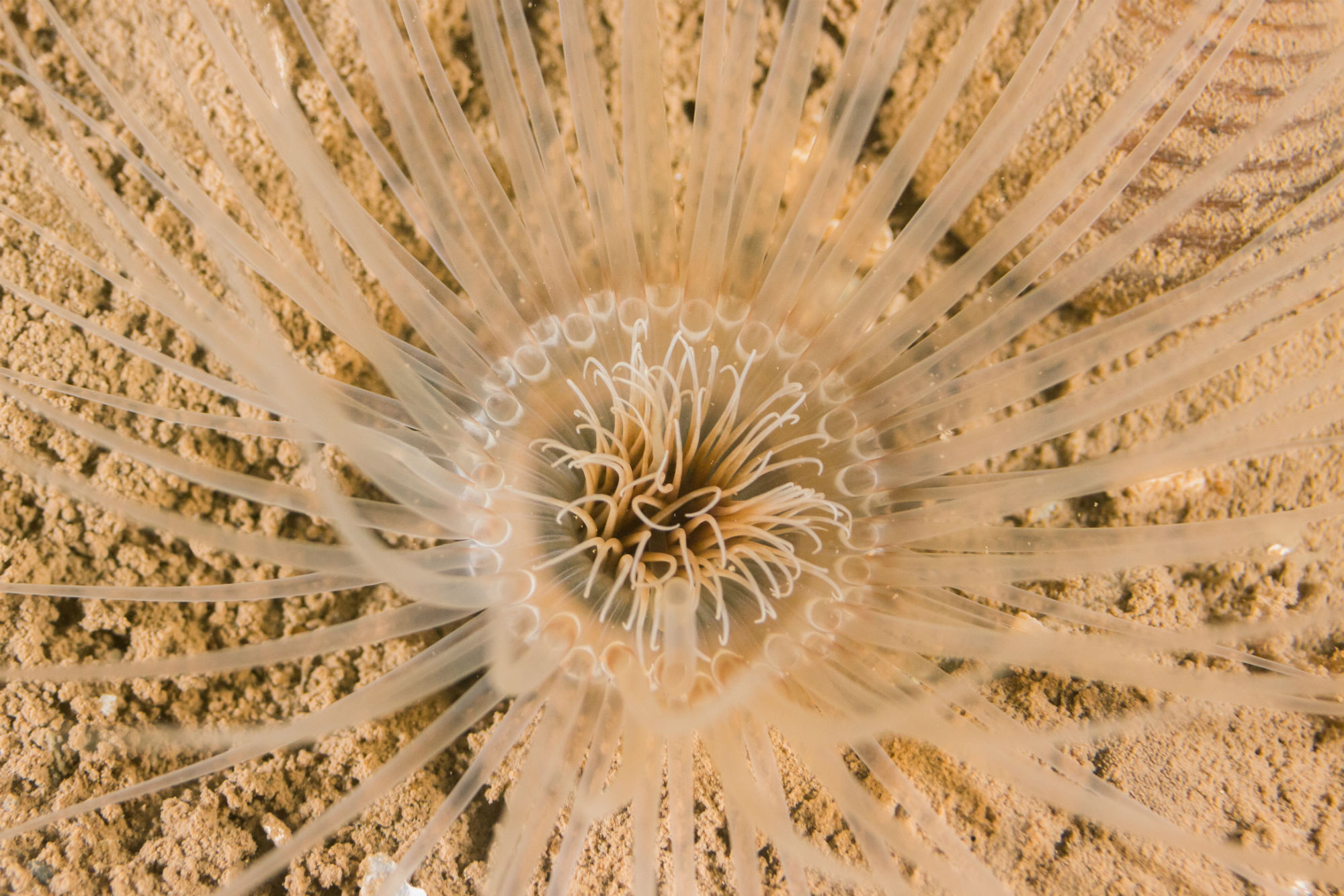 A Burrowing Tube Anemone in the Mud of Deer Island, New Brunswick