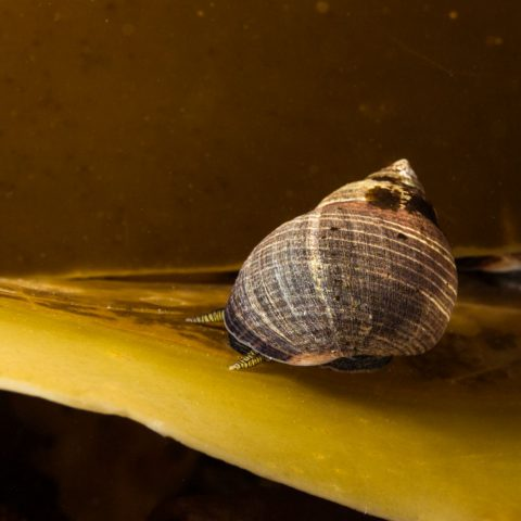 Periwinkle Snail on a Kelp Leaf at Paddy's Head Dive Site in Halifax