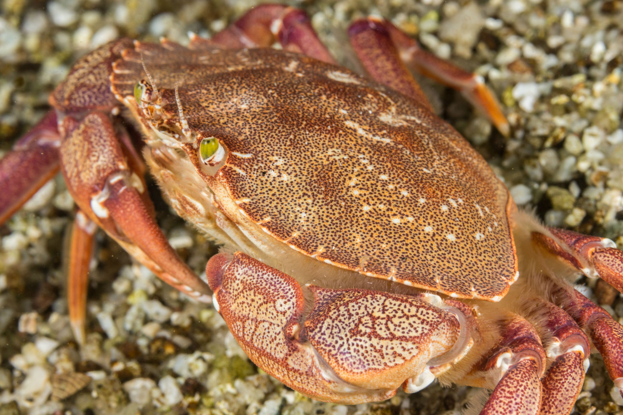 A Rock Crab in the Sandy Bottom of the Drift Dive on Deer Island