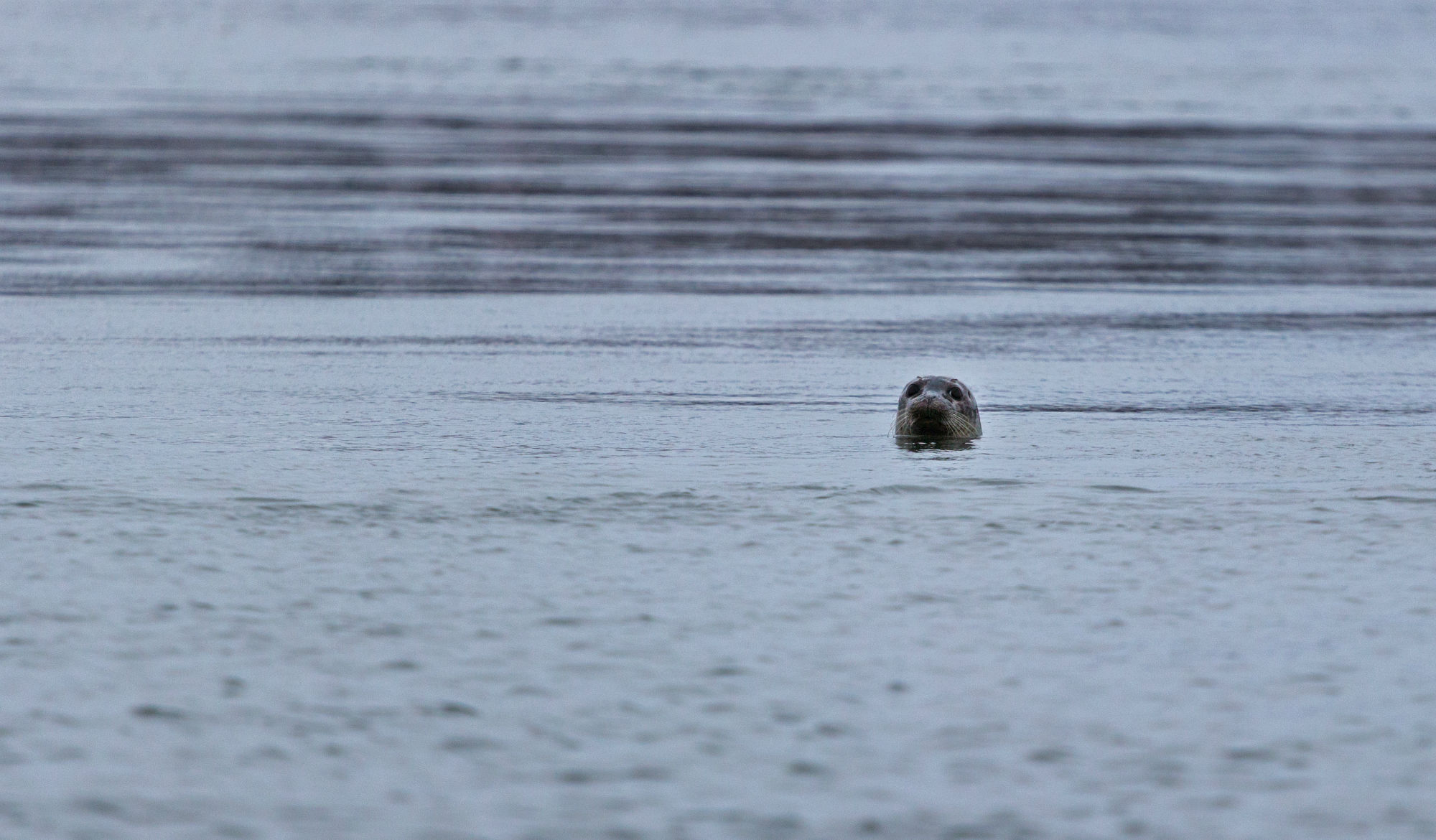 A Seal Floating in the Water of the Old Sow, Bay of Fundy