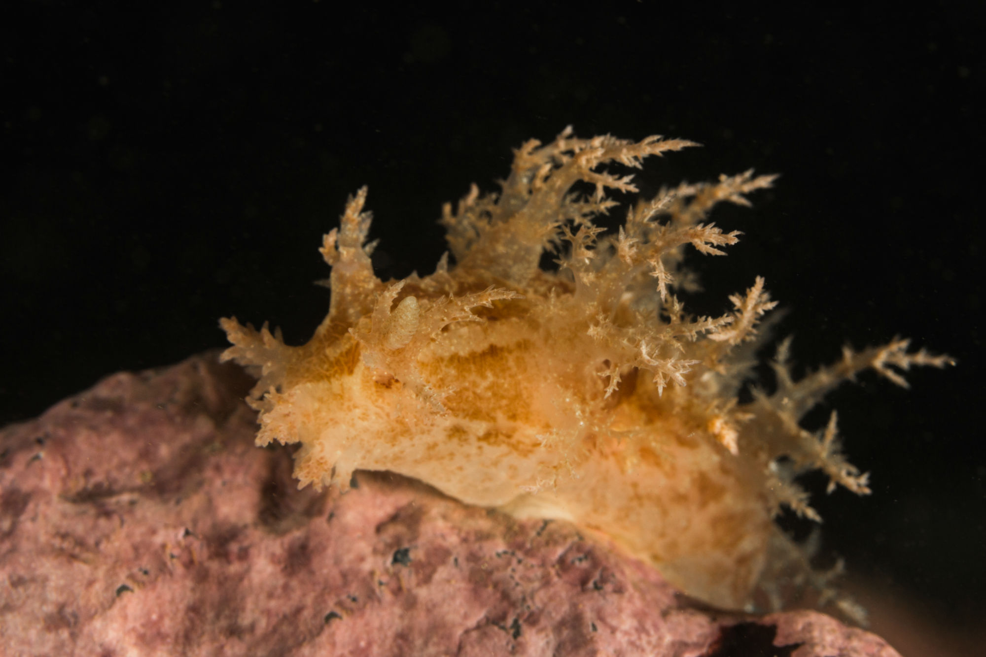 A Nudibranch Climbing on a Rock at Deer Island, Canada