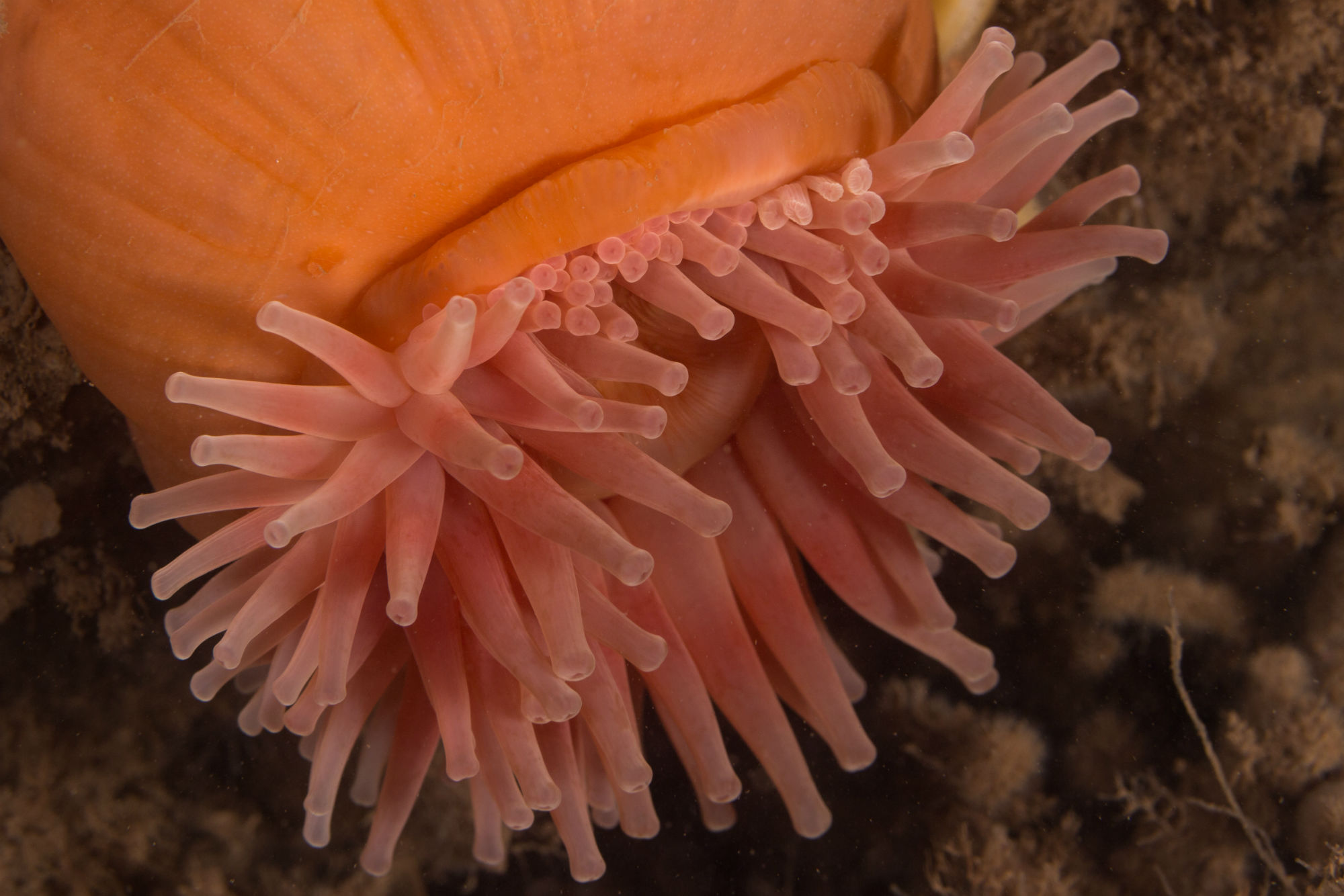 A Pink Anemone on the Wall of Deer Island, New Brunswick