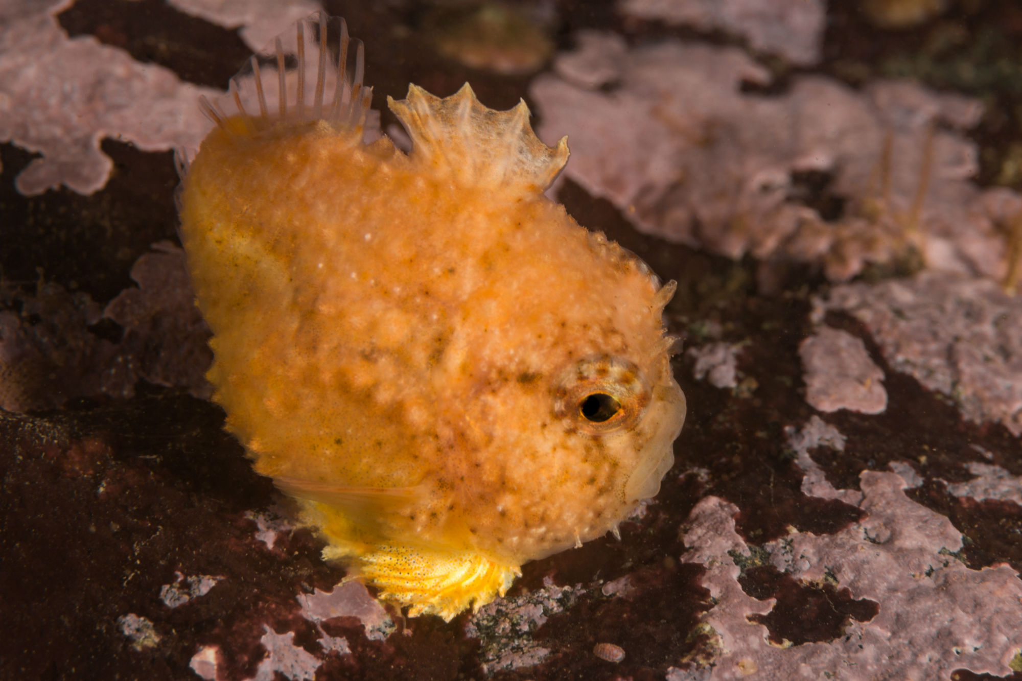 An Orange Spiny Lumpsucker Near the Old Sow, Deer Island