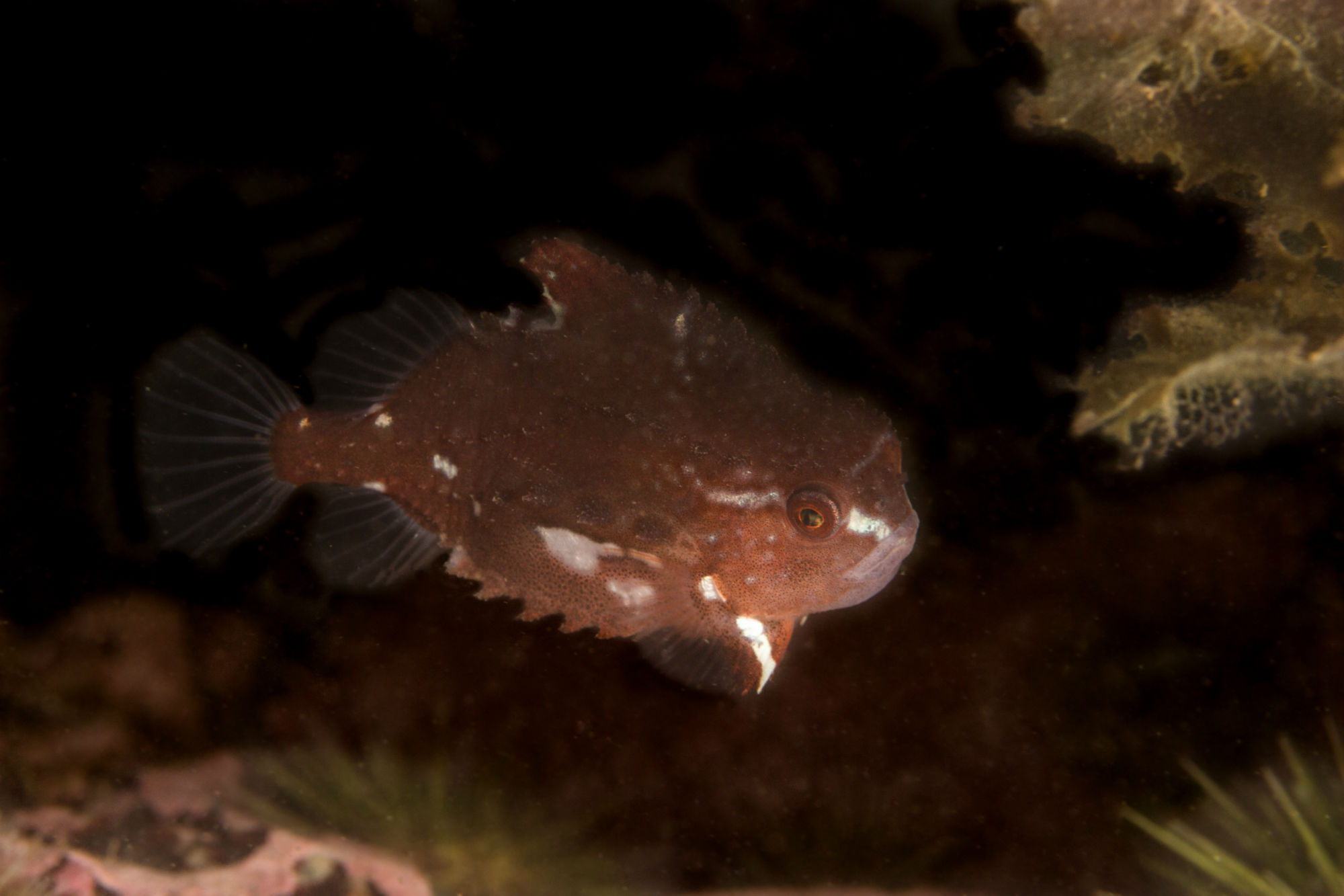 A Purple Lumpsucker Swimming at the Cancat Scuba Diving Site, New Brunswick, Canada