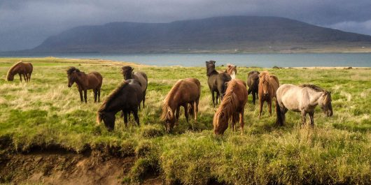Icelandic Horses in the Fields of Iceland, Europe