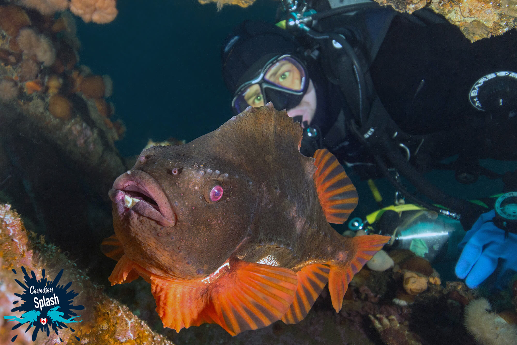 Joey Looking At A Red Male Lumpfish Scuba Diving In Newfoundland, Canadian Splash