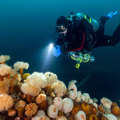 Joey Scuba Diving the PLM Shipwreck and Looking at Anemones in Newfoundland, Canadian Splash