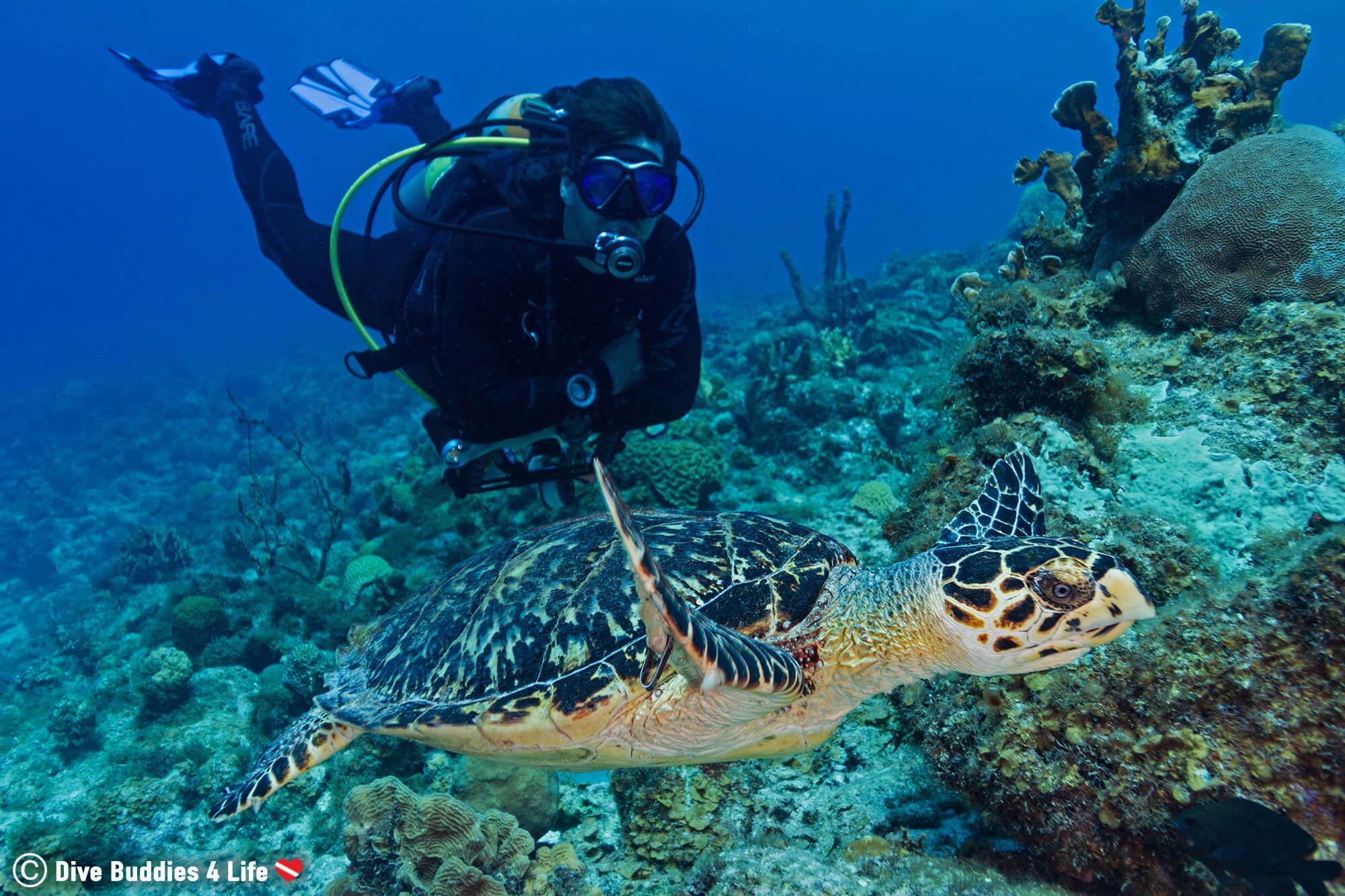 Joey Scuba Diving Beside A Hawksbill Sea Turtle In Bonaire, Caribbean
