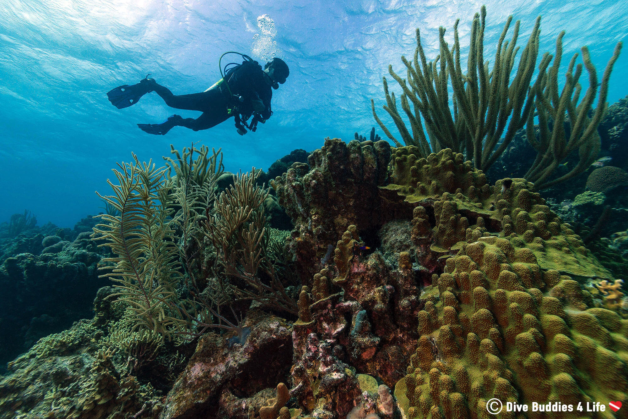 Joey Scuba Diving Over A Coral Reed In The Dutch Caribbean, Bonaire